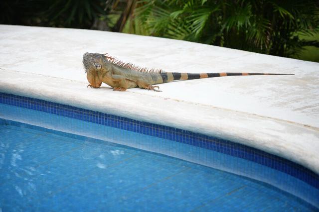 iguana near the pool