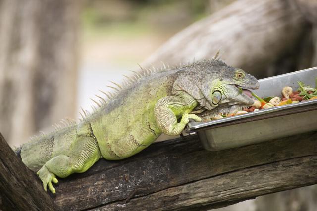 Iguana eating fruits and vegetables